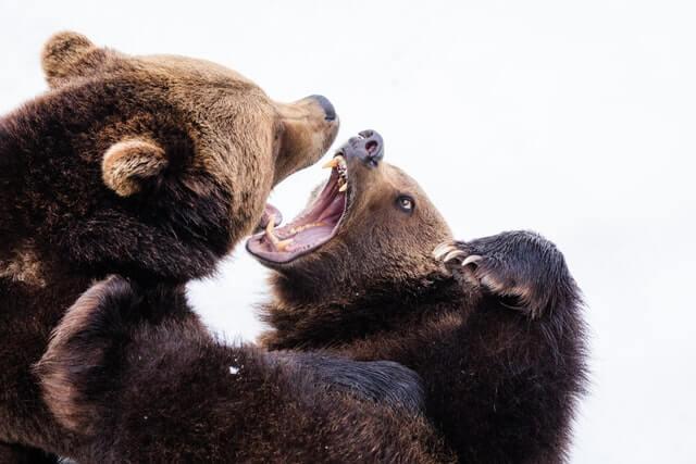 Combat entre deux ours